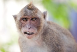 Funny  Monkey Close-Up Portrait. Focus On The Tooth