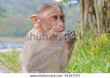 Funny monkey taken in Peruyar Wildlife sanctuary, Kerala, India