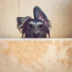 Funny 3-month-old puppy of a  East European sheepdog (VEO, German shepherd dog) peeking out from behind a wooden wall. Shallow DOF.