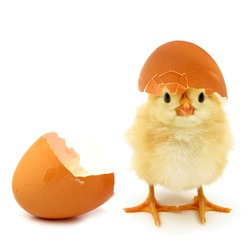 Funny newborn chick with broken egg shell on head conceptual scene just born