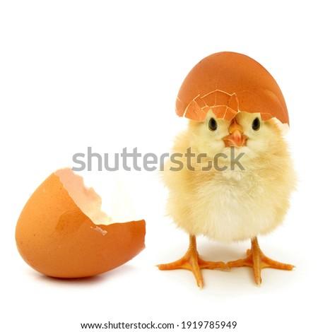 Funny newborn chick with broken egg shell on head conceptual scene just born Stockfoto ©