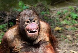 Funny  orangutan smile - monkey close up portrait