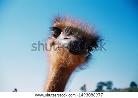 Funny ostriches on an ostrich farm #1493088977