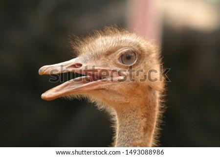 Funny ostriches on an ostrich farm #1493088986