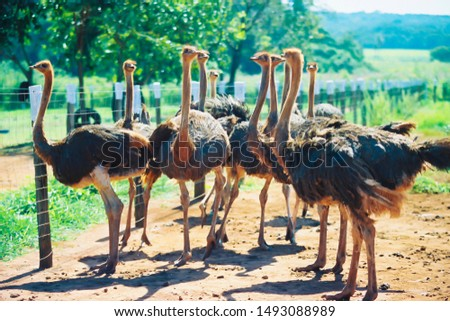 Funny ostriches on an ostrich farm #1493088989