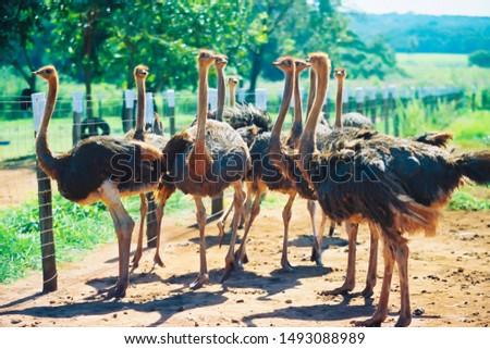 Funny ostriches on an ostrich farm #1493088989