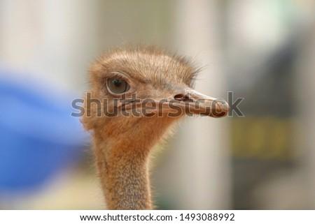 Funny ostriches on an ostrich farm #1493088992
