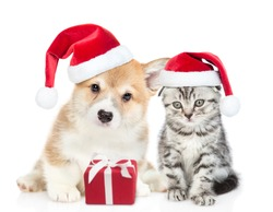 Funny pembroke welsh Corgi puppy and gray tabby kitten wearing red christmas hats sit together with gift box. isolated on white background