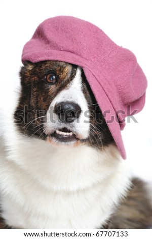 Funny Pembroke Welsh Corgi wearing a french-style hat in studio in front of a white background