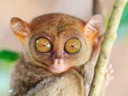Funny Philippine tarsier (Tarsius syrichta). Bohol. Philippines