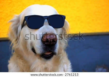 funny photo of a golden retriever dog with sunglasses - stock photo