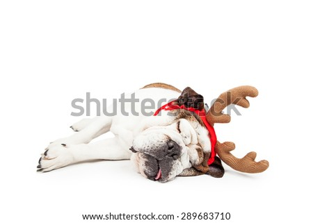 Funny photo of a tired Bulldog laying on her side sleeping while wearing Christmas reindeer antlers
