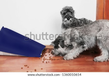 Funny photo of bad naughty schnauzer puppies. Dogs opened a bag of dry dog food  steal and eating granules. Dogs are home alone