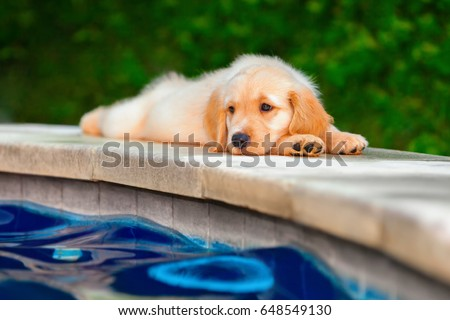 Funny photo of lazy little golden retriever labrador puppy lying stretched on swimming pool side. Training dogs, fun games and activities with family pet on summer vacations and weekends.