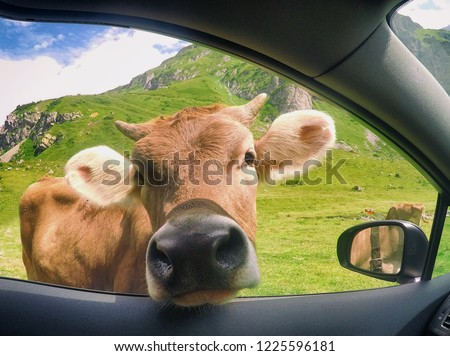 Funny photo of the cow looking through window of the car