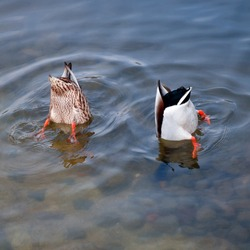 Funny photo, two ducks dived up by the priests. Photo ducks on the pond