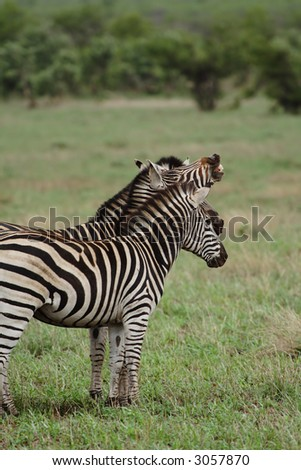 Funny photograph of three zebras where one is laughing