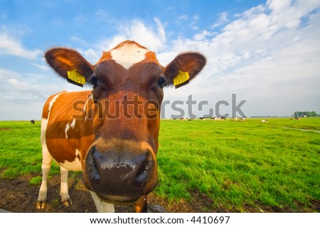 funny picture of a baby cow taken with a wide angle lens