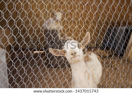 Funny picture of a goat looking through chicken wire fence.