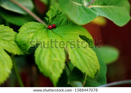 Funny picture of a love making ladybugs couple on Grape Vine Leaf. Valentine background. Beetles in love