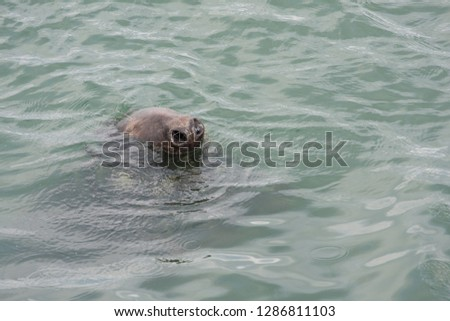 Funny picture of a seal, grey seal. Only his nose is visible out of the water. Howth, Ireland.