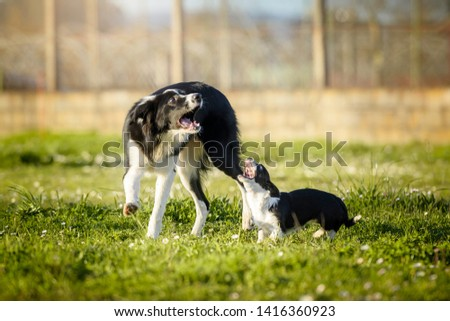 Funny picture of a young Border Collie and a small mongrel dog puppy barking at the same time while playing