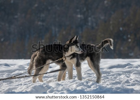 funny picture of two puppies of siberian husky dog - one head for two