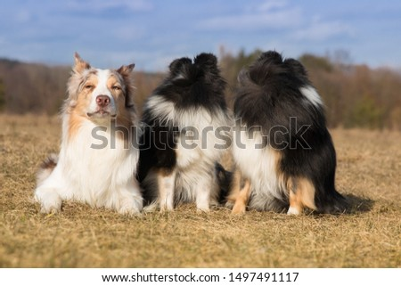 Funny picture of two sheepdog breeds border collie and shetland sheepdog on spring time. Sheltie collie looking back and sable red merle and white border collie just try to listen what happening.