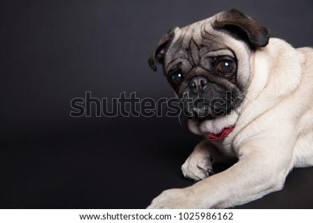 funny pictures of a pug my photostudio