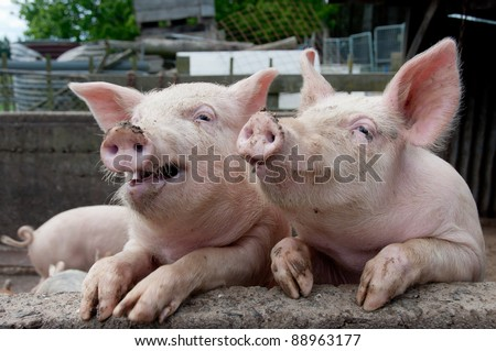 Funny pigs in sty leaning on wall looking like they are having a conversation and laughing