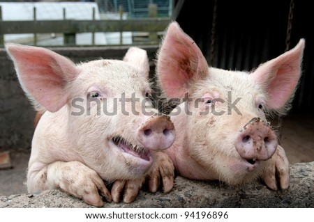 Funny pigs up on wall in pig sty looking like they are talking or sharing a joke