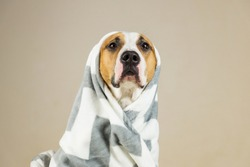 Funny pitbull dog in throw blanket. Beautiful young staffordshire terrier posing in minimalistic background after bath or shower, wrapped in towel or plaid
