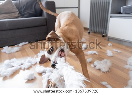 Funny playful dog destroying a fluffy pillow at home. Staffordshire terrier tearing apart a piece of homeware and enjoying the process