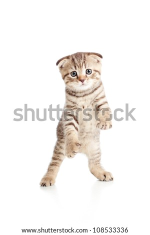 Funny playful kitten is dancing. Isolated on white background