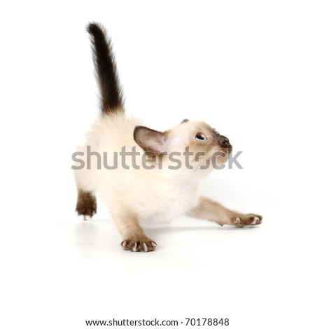 Funny playful siamese kitten on white background