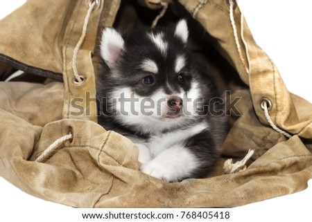Funny Playful Small One Month Designer Black White Husky Or Pomsky Puppy Doze In The Old Backpack Isolated On White Background.