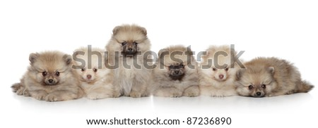 Funny Pomeranian Puppies group on a white background