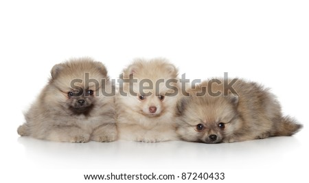 Funny Pomeranian Puppies lying on a white background