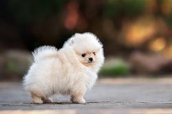 funny pomeranian spitz puppy peeing outdoors