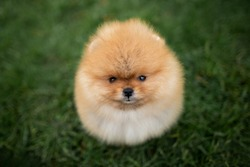 funny pomeranian spitz puppy sitting on grass and looking up, top view