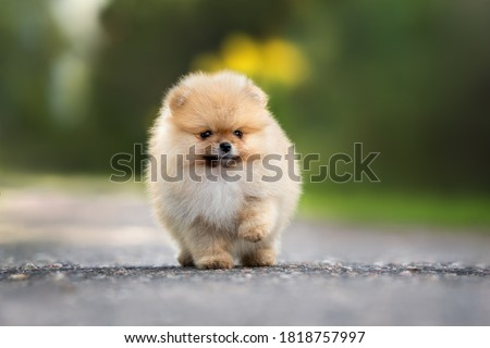 funny pomeranian spitz puppy walking on the road in summer Stock foto ©