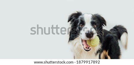 Funny portrait cute puppy dog border collie holding toy ball in mouth isolated on white background. Purebred pet dog with tennis ball playing with owner. Pet activity concept. Copy space banner