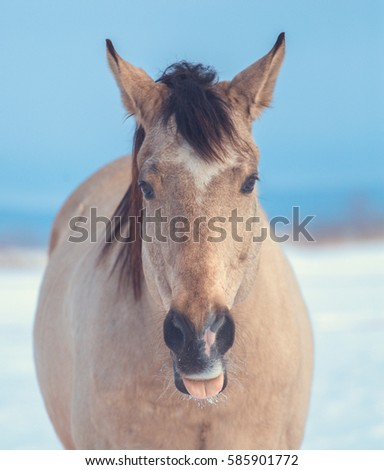 funny portrait of a buckskin horse with its tongue hanging out #585901772