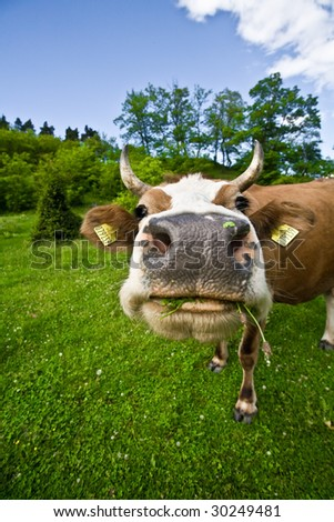 funny portrait of a cow grazing