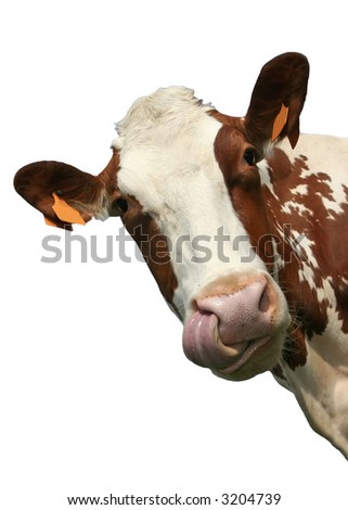 funny portrait of a cow, sticking its tongue in its nose. Isolated on white background