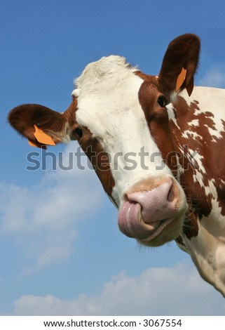 Funny portrait of a cow, watch the tongue touching the nostril