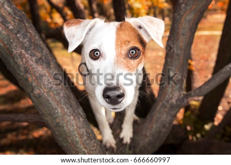 Funny portrait of a dog breed parsons jack russell terrier. Big nose and dog eyes. Dog on the tree.