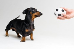 funny portrait of a dog (puppy) breed dachshund black tan, looks at the soccer (football) ball in the hand of his master on gray background