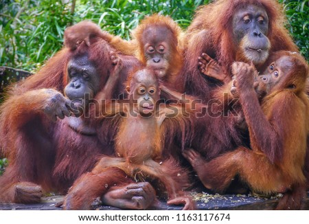 Funny portrait of a group of orangutans, including two mothers with their young offspring, enjoying a snack of sunflower seeds. #1163117674