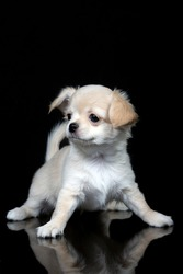 Funny portrait of a scared Chihuahua puppy looking at a slippery floor on an isolated black background